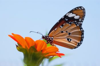 A orange, black, and white butterfly rests on an orange flower