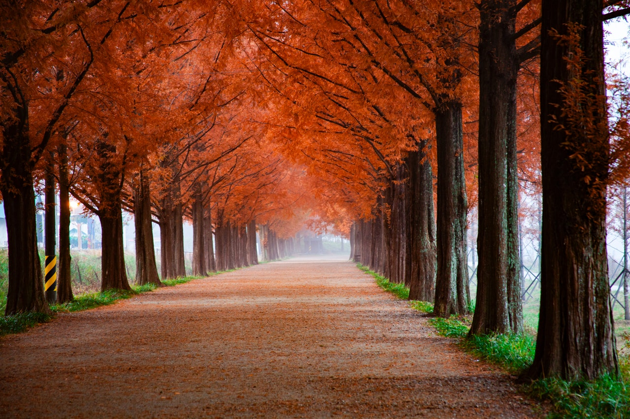 Tall trees with orange leaves line a walking path.